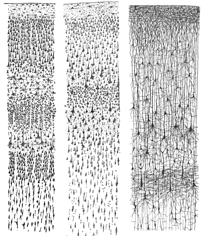 """Comparative study of the sensory areas of the human cortex"" by Santiago Ramon y Cajal, published 1899, Licensed under Public Domain via Commons, Looie496"